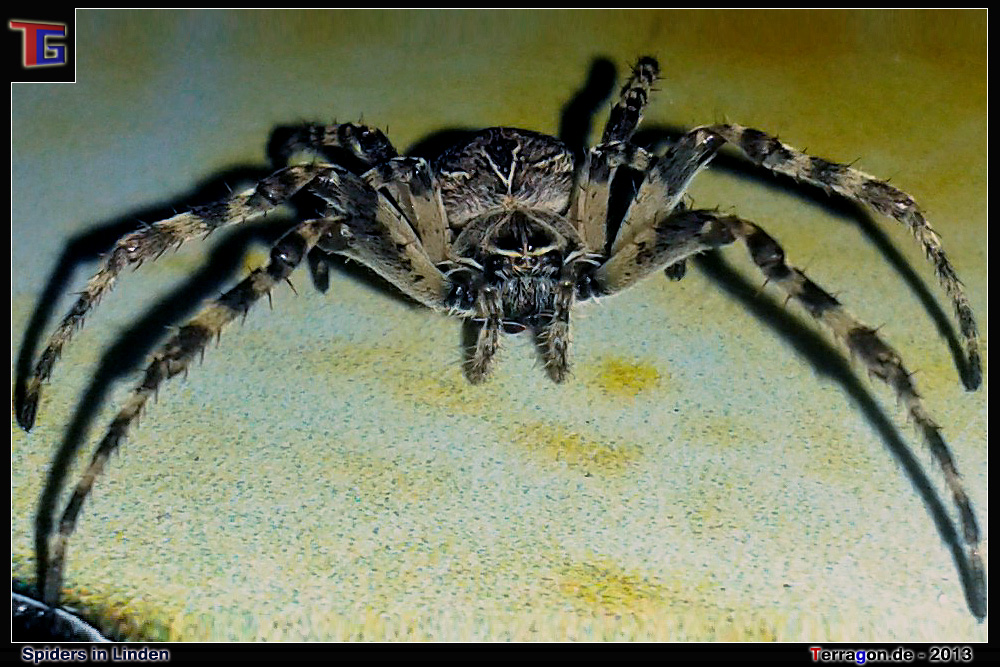 Horror am Morgen: Hausspinnen in Hannover Linden